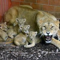 Az oroszlánok nem szeretik a vakut!