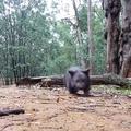 Wombat edzés
