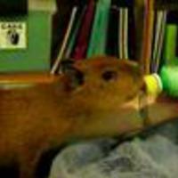 Happy Capybara Day!