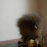 A világ legkisebb majma ebédel