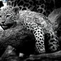 Kinyúlt leopárdkölyök