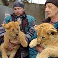 A belterjes szaporodás miatt utaznak el a debreceni oroszlánok