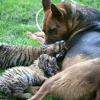 Kutya táplálja a szibériai tigriskölyköket