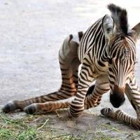Igazán gacsos az ötnapos zebra