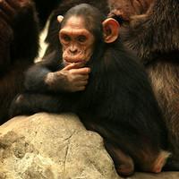 Bangkok Zoo II.: emberszabású portrék