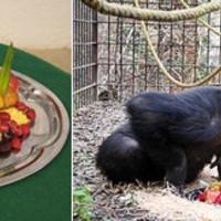 20. születésnap: tortát kapott a veszprémi csimpánz