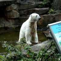 Knut megnőtt, de még mindig népszerű