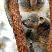 Koalagyerek mászni tanul