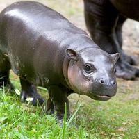 Cukiságfaktor 10: Mini hippo!