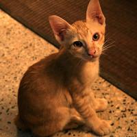 Ő Marmite, a kutyaszoptatta farkatlan khmer cica