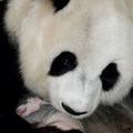 Panda mama és panda baba