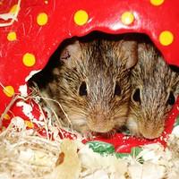 Szeretet és agresszió az egereknél is együttjár