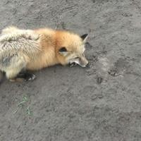 Fürge róka lábak