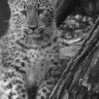 Szerencsére nem veszélyeztetett leopárdgyerek