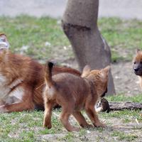 Ázsiaivadkutya-kölykök az állatkertben