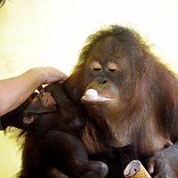 Hőségriadóban orángutánnak sem jó lenni