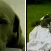 Tizenhatot szült a dán dog