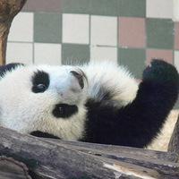 Ilyen szögből még soha nem látott pandát