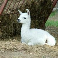 Lámacsikó született a győri állatkertben
