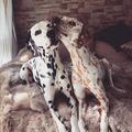 Khaleesi & Django - a legcukibb dalmatapár