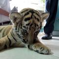 Élő tigriskölyök lapult a bőröndben