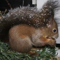 Alvó és/vagy téli állat: havas mókus mogyoróval