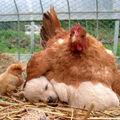 A tyúkok az állatvilág legnagyobbszívű anyái