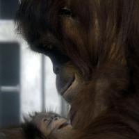 Orángutánkölyök született Budapesten