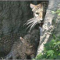 Három leopárdkölyök született az Állatkertben