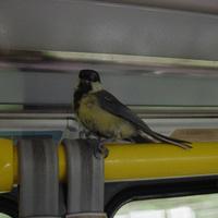 Villamossal utazó madárka Prágából