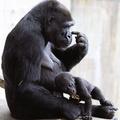 Nagyon kicsi gorilla szereti a paradicsomot