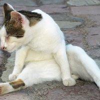 Macskapihenő