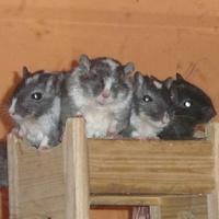 Emeletes ágyon trónolnak az egerek