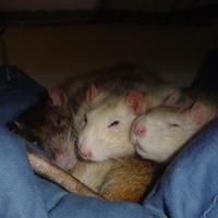 A patkány szép. A patkány jó. Patkányt mindenkinek!