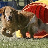 Chicagóban a magyar vizsla az egyik legnépszerűbb kutya