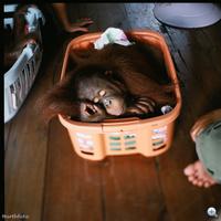 Orángutánbölcsőde Borneóban