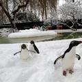 Örülnek a londoni pingvinek, hogy itt a hó