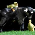 Életreszóló barátságot kötött két kiskacsa egy kecskével