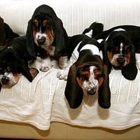 Tizenegy Columbo-kutya született egy alomból