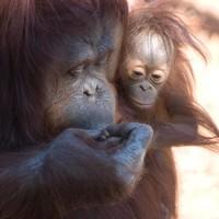 Bibis ujjat puszil az orángután