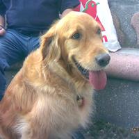 Elveszett Reno, a vakvezető kutya