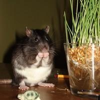 Zokni, a hörcsögnek álcázott patkány