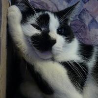 A sakktábla-macska