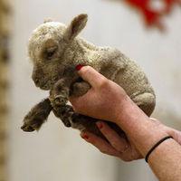 A világ legkisebb báránya