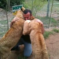 Oroszlánkölykök ölelése