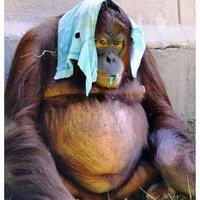 Orangután fejfedővel