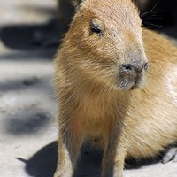 Legnagyobb rágcsálókölykök születtek az állatkertben