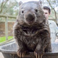 A legöregebb wombat