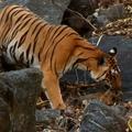 Tigriskölykök a vadonban