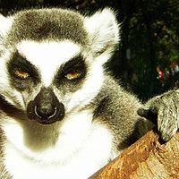 Álmos Lemur catta